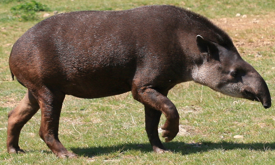 Tapirus terrestris. CC-BY-SA, Jean-Marc Rossier.
